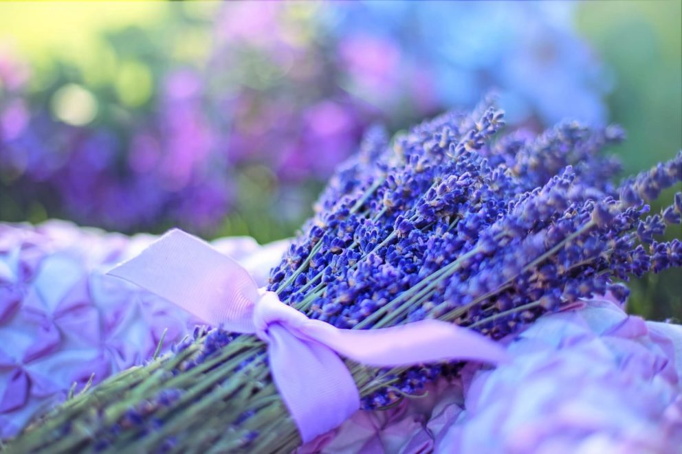 Lavender is easily distinguished by its deep purple flowers