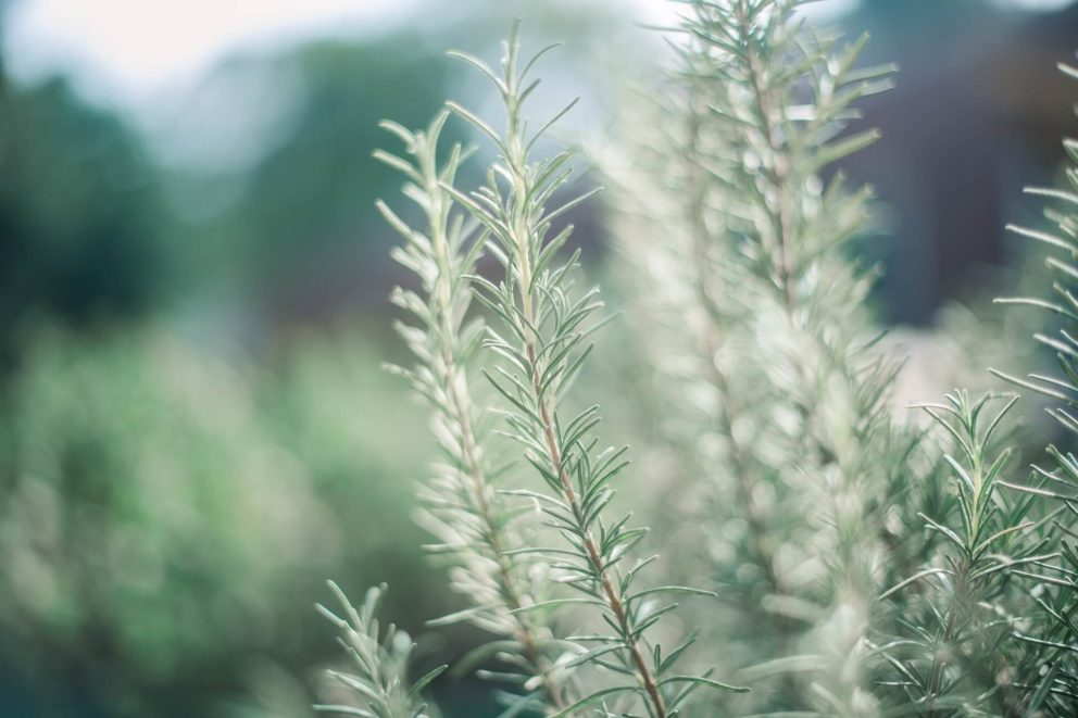 Rosemary used to be a sign of fidelity.