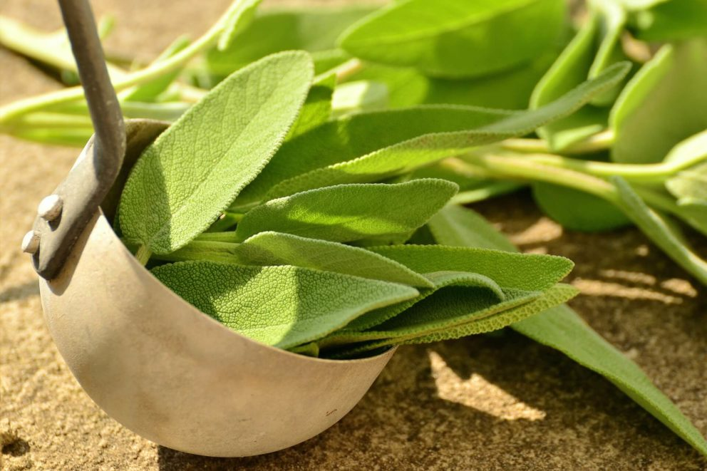 Common sage is usually green.