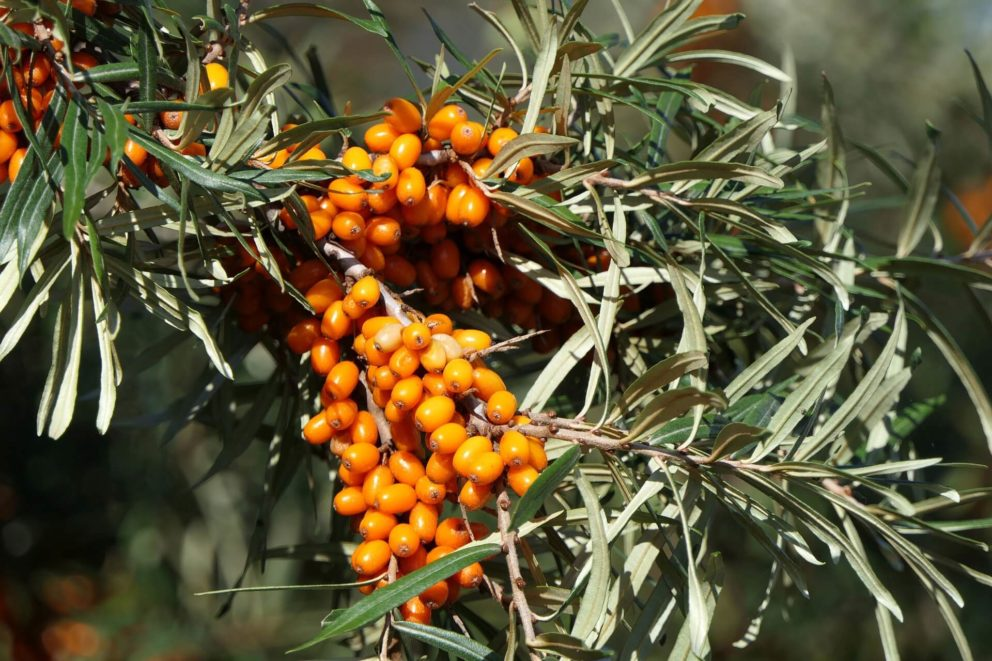 Sea buckthorn berries are bright orange and oval.