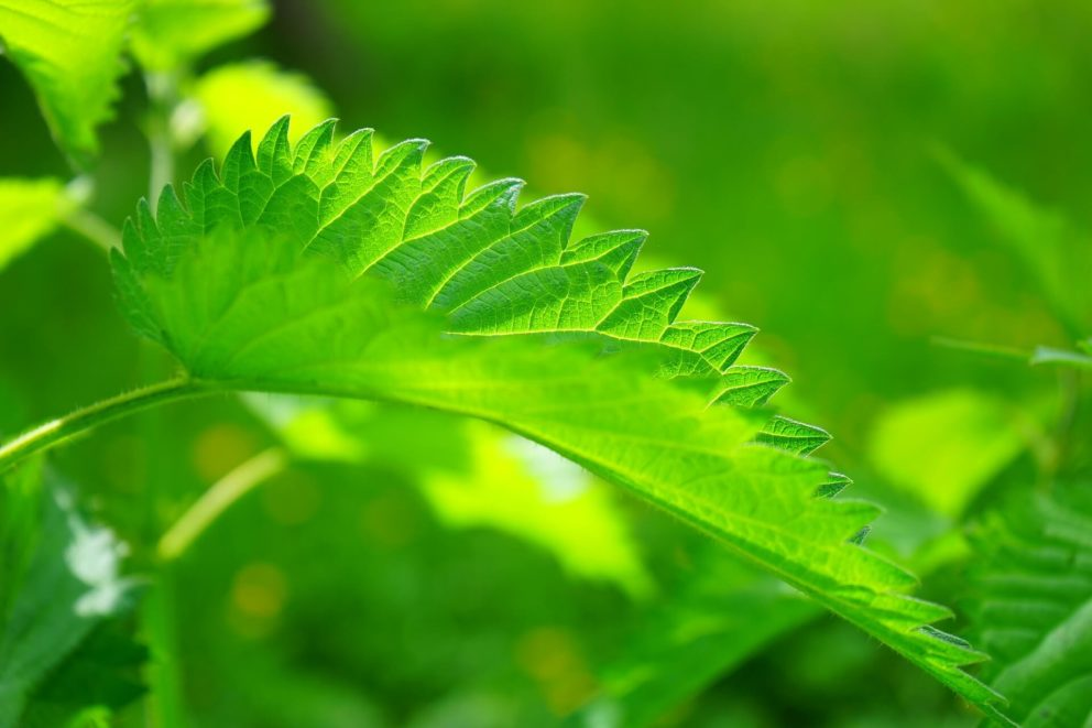 Nettles are a valuable plant in nature. Not only do they support wildlife, they can also be used as a fertliser.